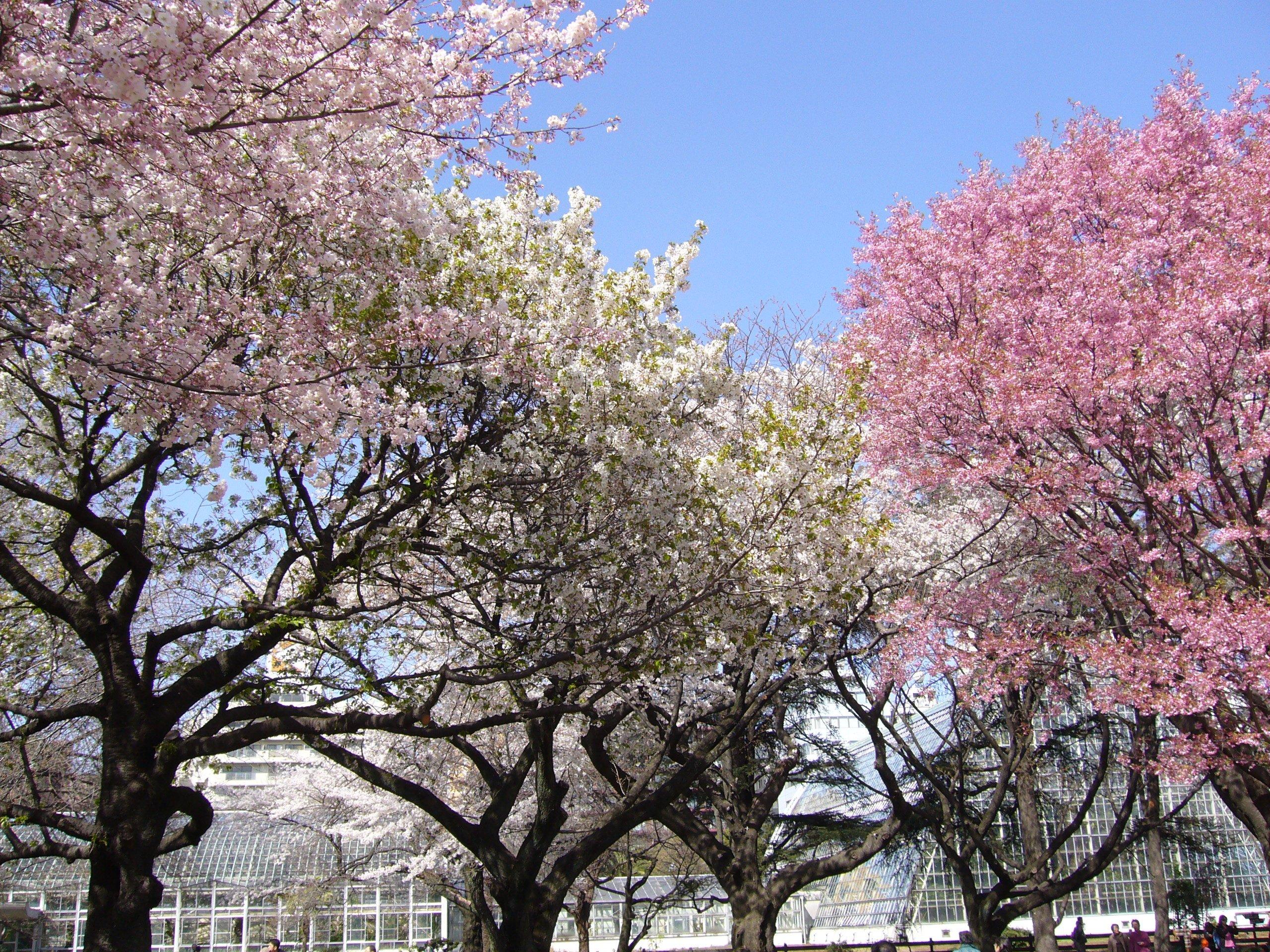 hanami les fleurs de cerisier 2 ans au jap. Black Bedroom Furniture Sets. Home Design Ideas